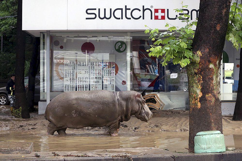 Бегемот, сбежавший из зоопарка в Тбилиси во время потопа. Тбилиси, 14 июня.