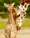 Детеныш жирафа Ротшильда пяти дней отроду в Честерском зоопарке. Чешир, Великобритания, 12 июня.