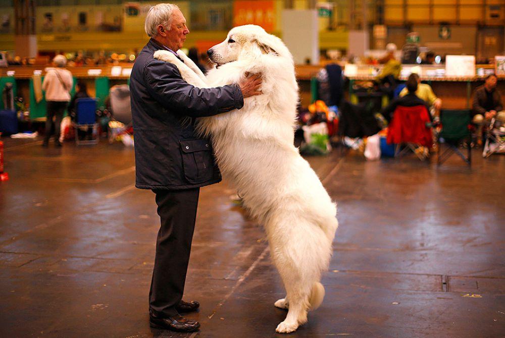 Артур Вард и его пес Коди породы пиренейская горная собака на крупнейшем дог-шоу в мире Crufts. Бирмингем, Англия, 5 марта.