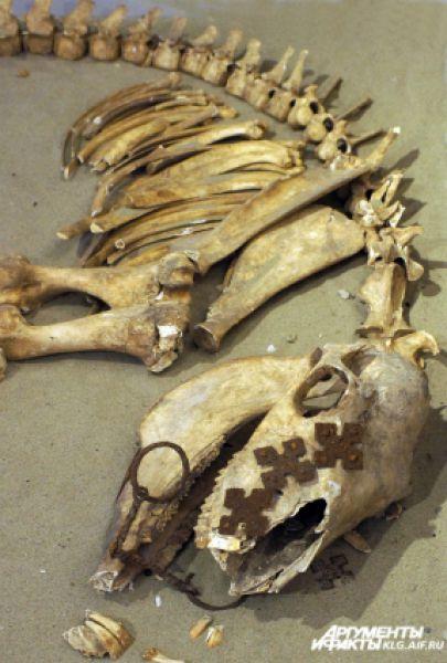 Макет конского захоронения XI-XII веков найден в могильнике в районе поселка Коврово.