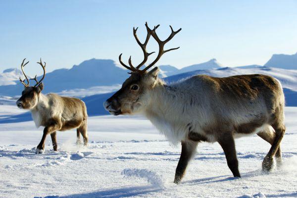 Северный олень хоть и занесен в Красную книгу, но отнесен там к видам с минимальным риском исчезновения. Обитает в арктической тундре Евразии, включая Скандинавский полуостров Северной Европы. В России численность популяции превышает 1,2 млн особей (1999 год).