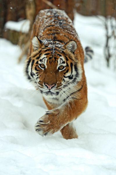 Амурский тигр является одним из самых малочисленных подвидов тигра, его ареал сосредоточен в охраняемой зоне на юго-востоке России. Амурский тигр — один из самых редких хищников планеты, он занесен в Международную Красную книгу. Примерная численность амурских тигров в России составляет около 540 особей.