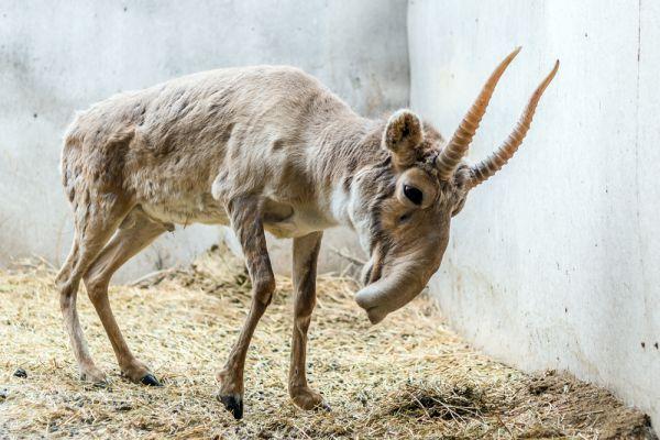 В 2002 году Международным союзом охраны природы (МСОП) сайгаки были отнесены к категории «находящихся в критическом состоянии». Изначально сайгаки заселяли большую территорию в степях и полупустынях. Сейчас эти животные обитают только в Казахстане,Узбекистане, Киргизии, России и западной Монголии. В мае 2015 года в Казахстане из-за инфекции погибло около 132 тысяч сайгаков, в то время, как в 2014 году общее количество сайгаков в Казахстане оценивалось в 256,7 тыс. особей.