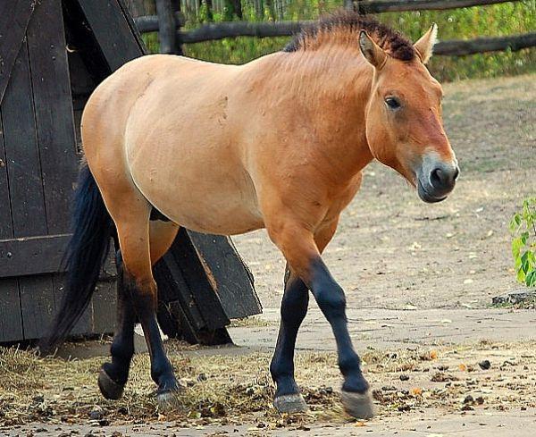 Лошадь Пржевальского — подвид дикой лошади, обитающий в Центральной Азии. Вид включен в Красную книгу МСОП, как исчезнувший в природе, ведётся его реинтродукция, т.е. ряд мероприятий по возвращение его в природу.