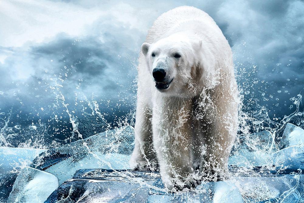 Полярные медведи, одни из самых приспособленных животных к жизни в Арктике, могут не пережить глобального потепления. Сегодня, согласно данным ученых, популяция мишек составляет около 22 тысяч особей, но что будет, если льды Арктики начнут таять? Ученые дают неутешительные прогнозы.