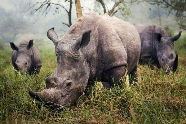 Фотограф Стефан Беруб и его фоторабота под названием Белые носороги - в десятке лучших тревел-фотографий года