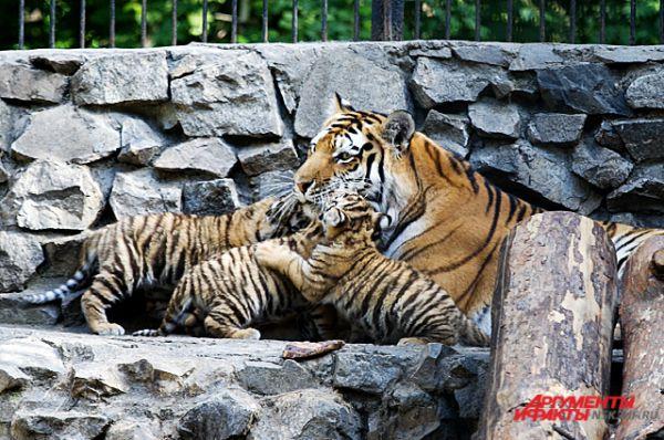 Лето 2014 года. В Новосибирском зоопарке родились амурские тигрята!