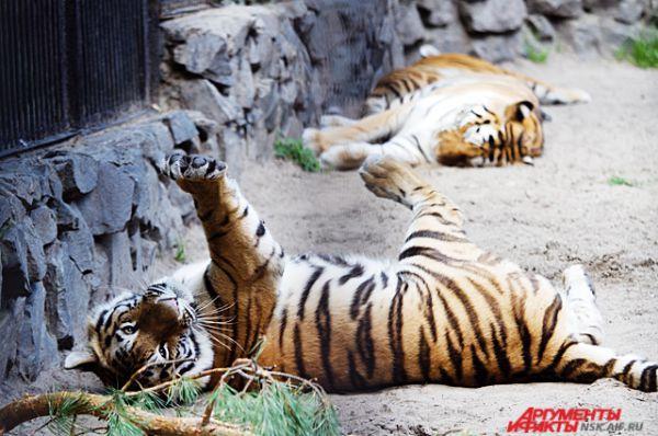 Тигры - это огромные хищники, которые всегда остаются кошками в душе!