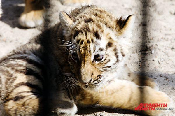 У тигрят ещё немного физических сил...