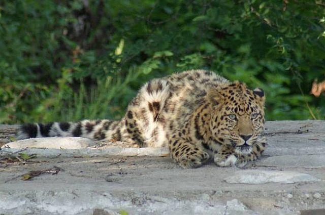 Котёнок леопарда в вольере.