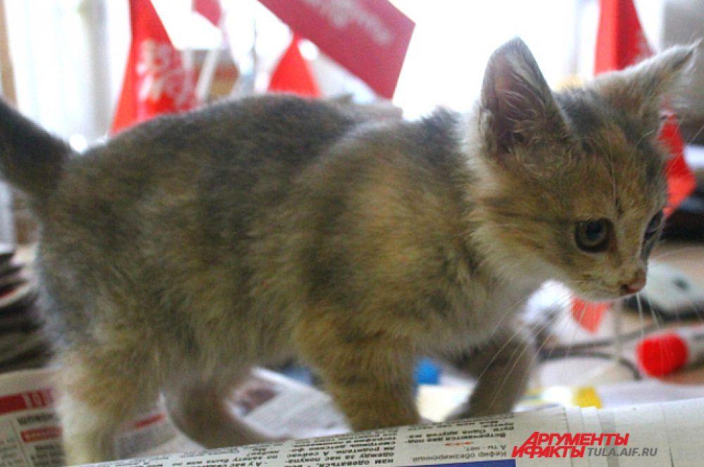 Буквально месяц назад корреспонденты «АиФ в Туле» спасли котёнка: от холода и дождей он забирался под капоты машин. В редакции найдёныша отмыли, накормили и выяснили, что это кошечка. Спустя пять дней у Дуси появился дом.