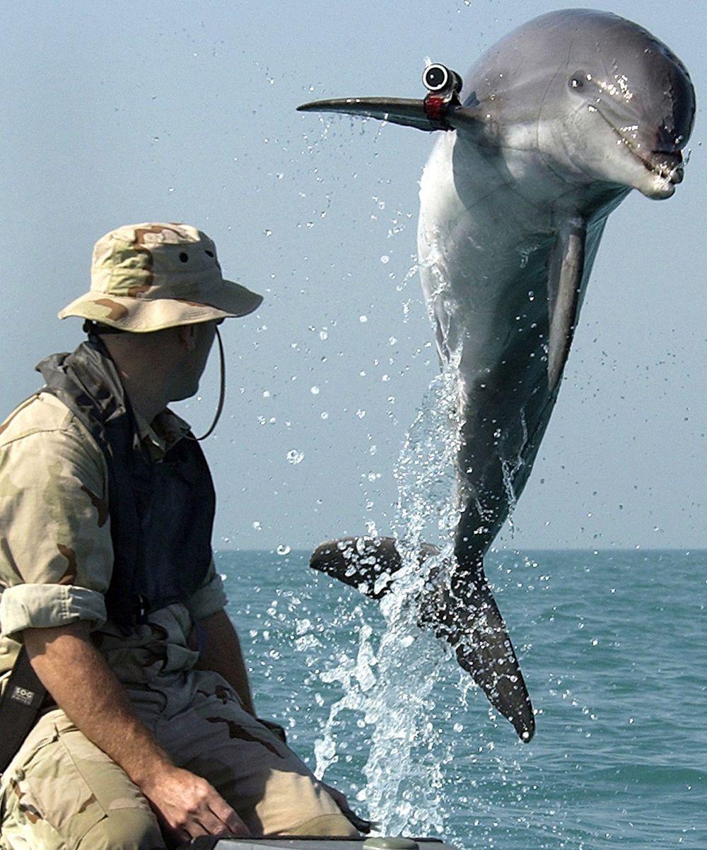 Идея о привлечении дельфинов на вооружение впервые возникла в нашей стране. В далеком 1915 году. Подхватили ее уже американцы во время войны со Вьетнамом. Дельфины использовались для патрулирования военно-морских баз США. Их старались научить находить противокорабельные мины и вражеских десантников.