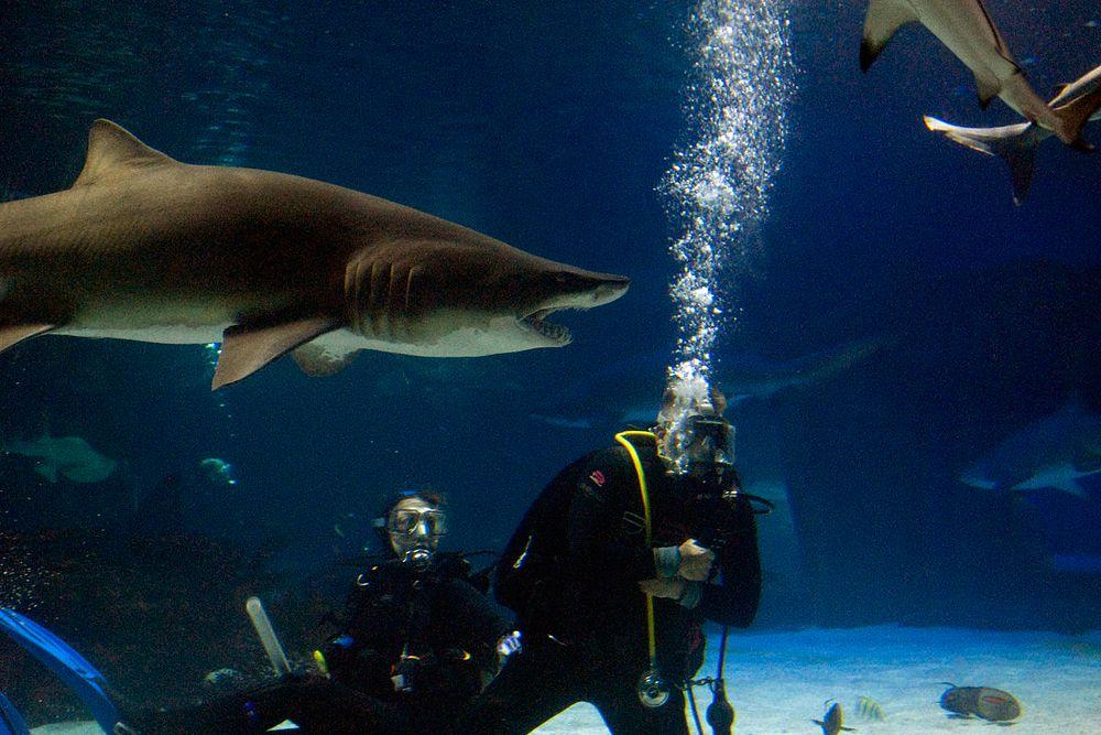 В США ведутся работы по дрессировке акул. Специалисты стремятся научить хищников нападать на противника по воле человека. Сложность в том, что акулы хоть и прирожденные охотники, но повинуются инстинктам, потому крайне тяжело заставить животное напасть на человека. Но специалисты из американского Управления перспективных исследовательских проектов в области обороны (DARPA) уже научились управлять акулами, правда, пока хищники повинуются дрессировщику не в открытом море, а в бассейне.