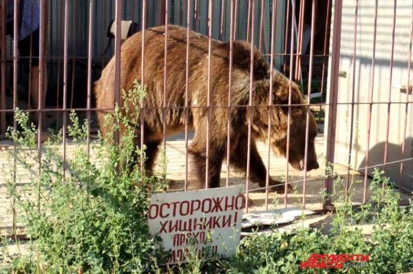 Каждый день медведи гуляют по несколько часов утром и вечером.