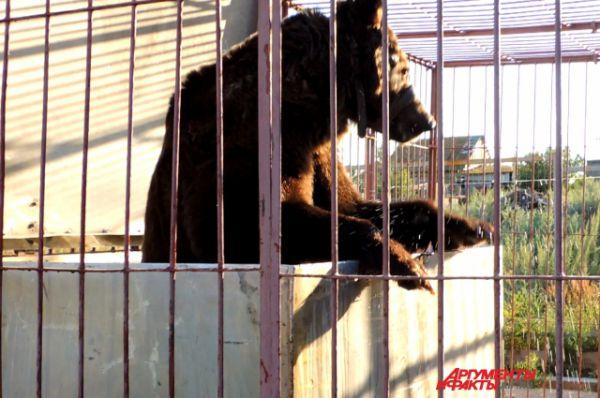 Каждый день медведи купаются в специальном бассейне.
