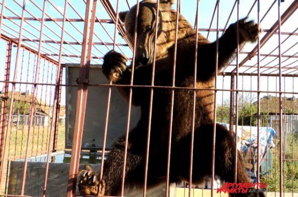 Медведица Раиса ловко карабкается по прутьям в клетке.