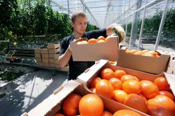 Сбор урожая томатов в Ростовской области.
