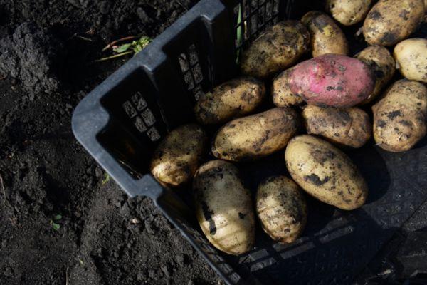 Подготовка к сбору урожая картофеля в Белоярском районе Свердловской области.