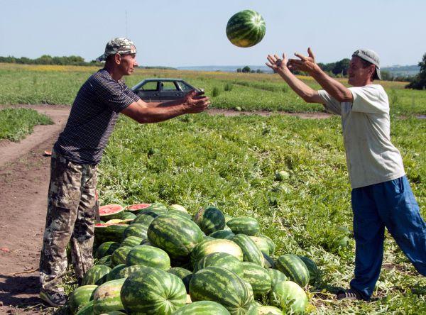 Урожай арбузов, собранный на полях в Белгородской области.