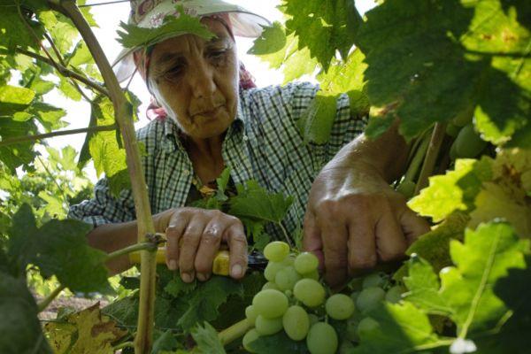 Сбор винограда в Крыму.
