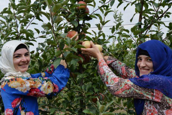 Упаковка урожая яблок в Чечне.