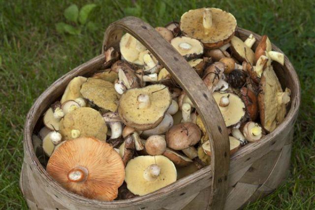 грибы фото пензенской области