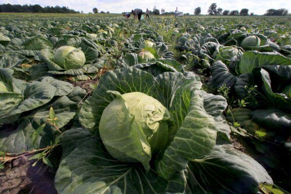Сбор овощей в Калининградской области.