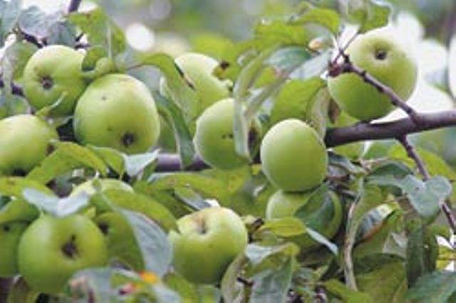 В храмах Среднего Урала освящают яблоки