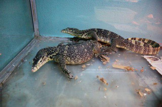 Зоопарк Екатеринбурга будет разводить полосатых варанов