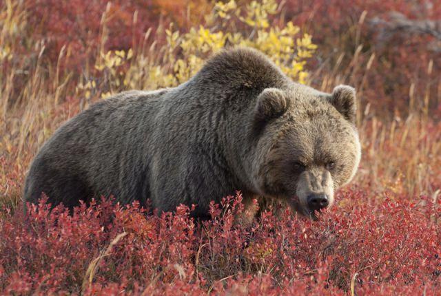 Медведь - опасное животное.