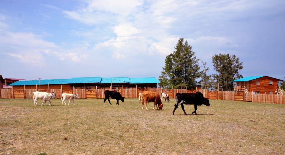 Коровы идут с водопоя на Байкале.
