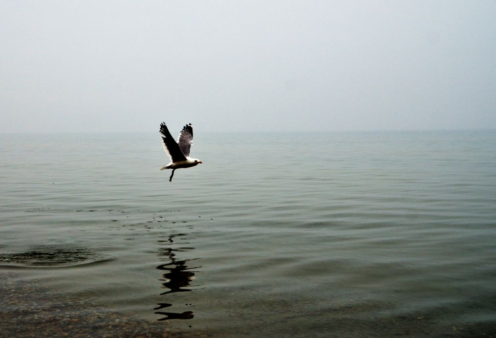 Чайка взлетает с воды.