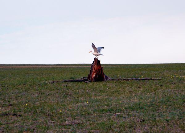 Чайка на сосновом пне.