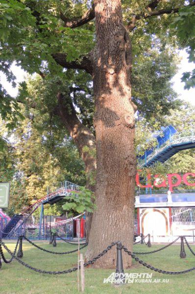 Свой шестисотый юбилей отметил в этом году заповедный дуб, полюбоваться которым можно в Городском саду Краснодара.