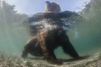 Медведь Казанова в Курильском озере