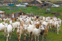 Козье молоко спасает и производителя, и потребителя.