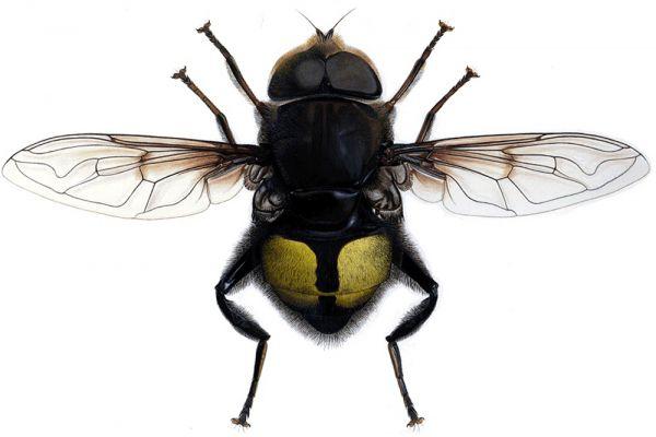Муха Билла Гейтса. Eristallis gatesi – вид мух-журчалок. Названа муха в честь Билла Гейтса, который основал корпорацию Microsoft, в признание его заслуг. Встречаются эти мухи в высокогорных туманных лесах Коста-Рики на высотах 3-5 километров.