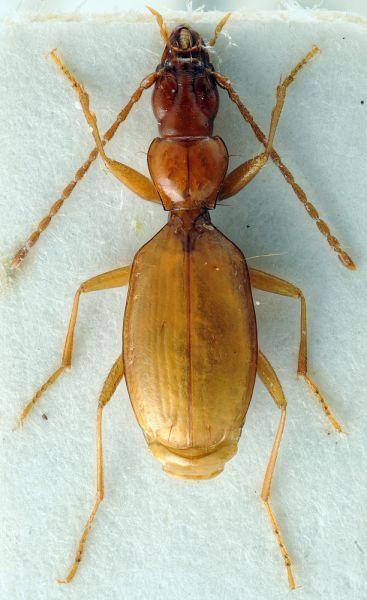 Жук Адольфа Гитлера. Вид слепого пещерного жука Anophthalmus hitleri встречается только в пяти влажных пещерах в Словении. Он был обнаружен в 1933 году немецким энтомологом и назван в честь только что назначенного канцлера Германии.