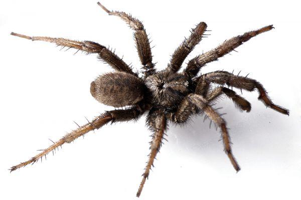 Паук Анджелины Джолли. Aptostichus angelinajolieae – вид пауков, который обитает в песчаных дюнах штата Калифорния. Этот вид был назван так в признание работы американской актрисы в качестве посла доброй воли в Управлении Верховного комиссара ООН по делам беженцев.