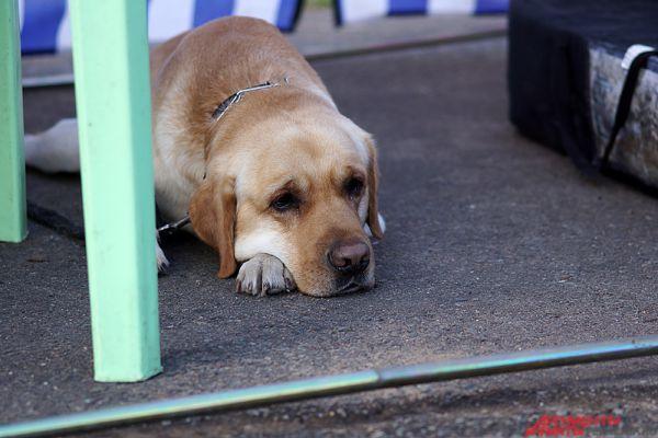 Выставка собак «Кураж-2015» прошла в субботу, 29 августа.