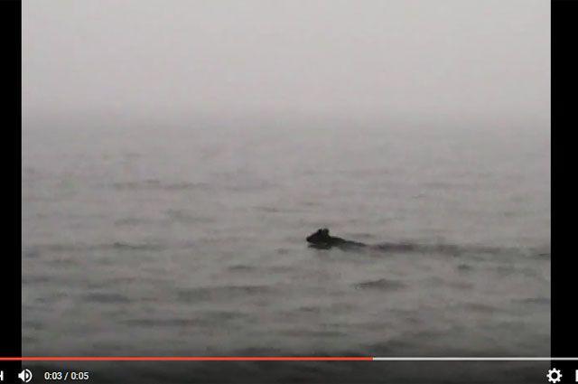 Видео с плывущим по Байкалу медведем обсуждают в Сибири.