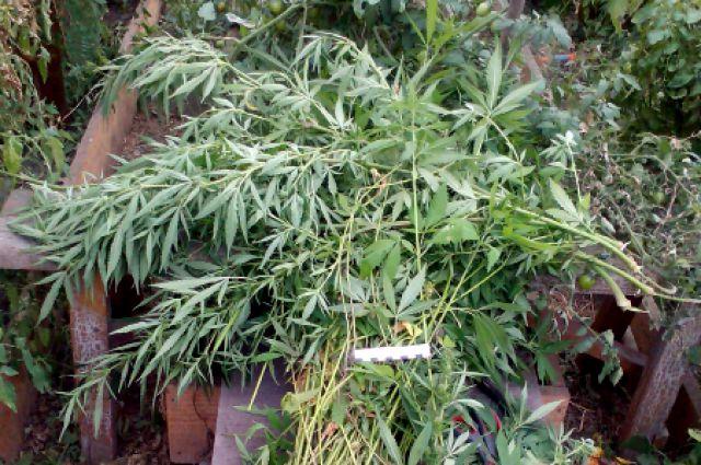 Конопля на крите семена бесплатно марихуаны