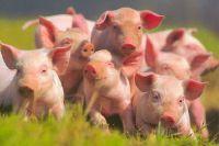 Свиней продадут, если их хозяин вовремя не заплатит долг.