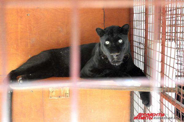 Красавица черная пантера.