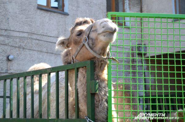 Судя по внешнему виду, верблюды культурные и плеваться в зрителей не будут.
