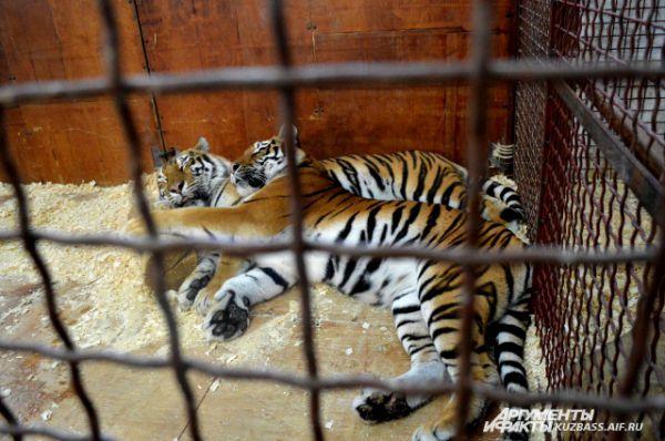 Семейная пара тигров.