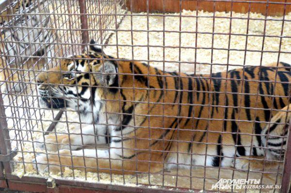 Тигр спокойствием не отличается: он активно ходил по клетке и даже вставал на здание лапы.