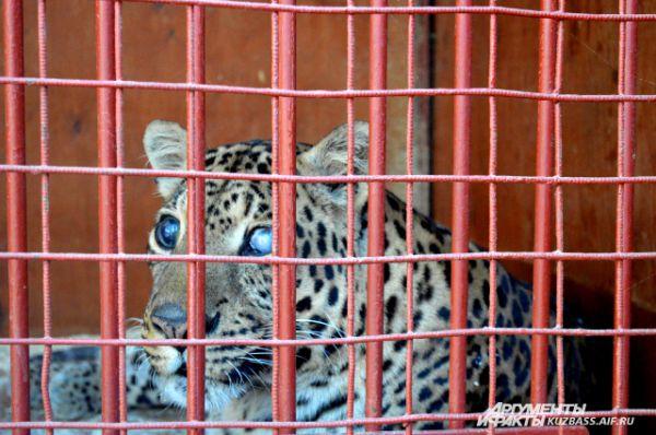 Этому леопарду 17 лет, он перенес множество операций и сейчас он слепой.
