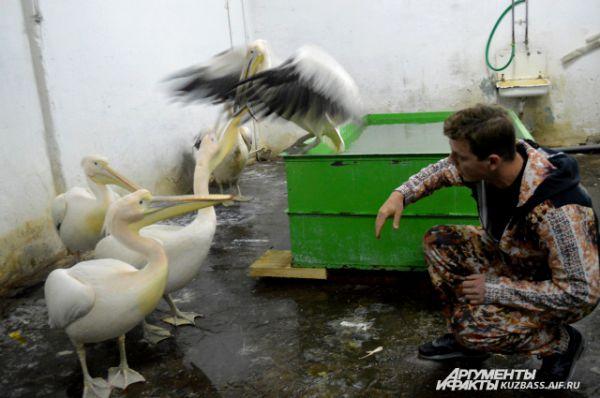 Дрессировщик и скромные пеликаны.