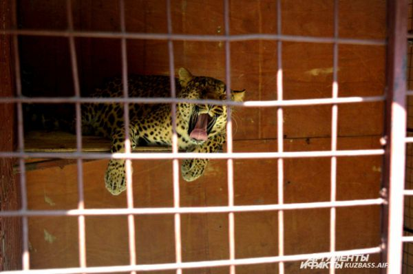 К слову, леопард очень добрый и ласковый.